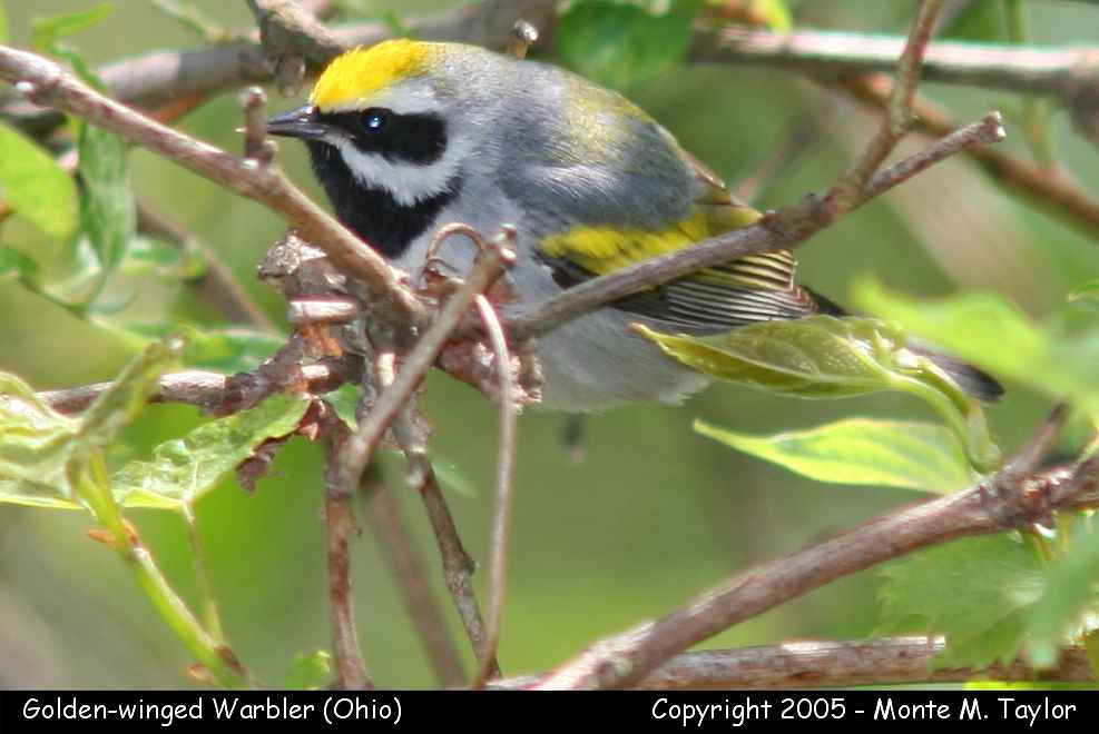 Golden-winged Warbler - Ohio