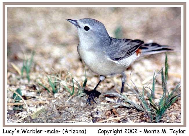 Lucy's Warbler  (Arizona)