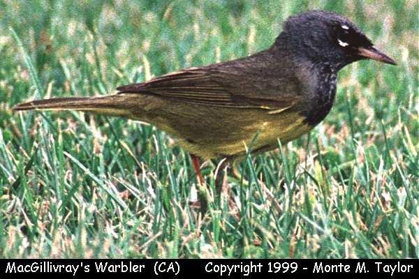 MacGillivray's Warbler  (California)