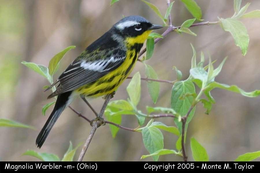 Magnolia Warbler (male) - Ohio