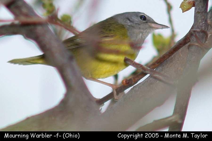 Mourning Warbler (female) - Ohio