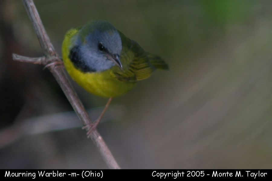 Mourning Warbler (male) - Ohio
