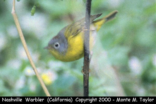 Nashville Warbler  (California)