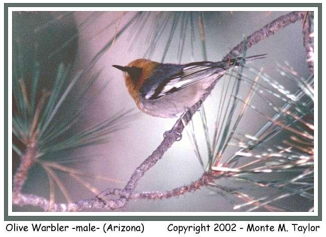 Olive Warbler -female-  (Arizona)