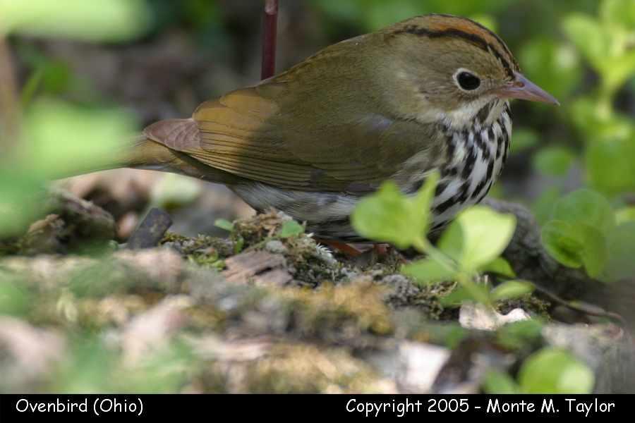 Ovenbird - Ohio