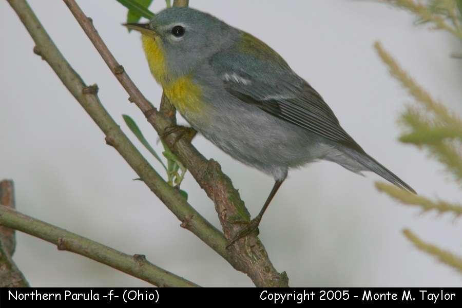 Northern Parula (female) - Ohio