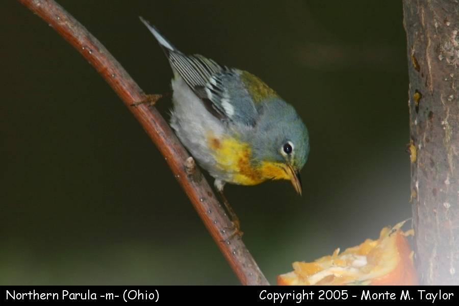Northern Parula (male) - Ohio