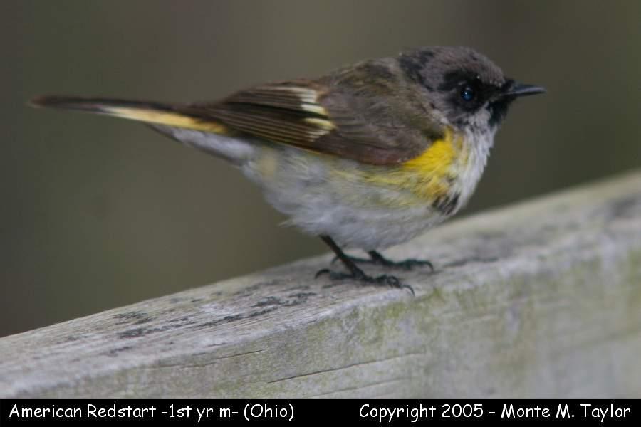 American Redstart (1st year male) - Ohio