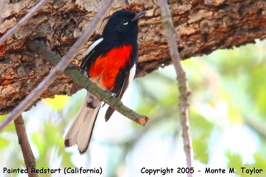 Painted Redstart -winter- (California)