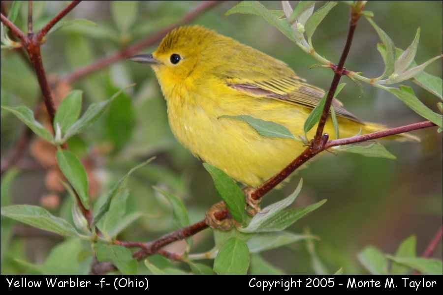 Yellow Warbler (female) - Ohio