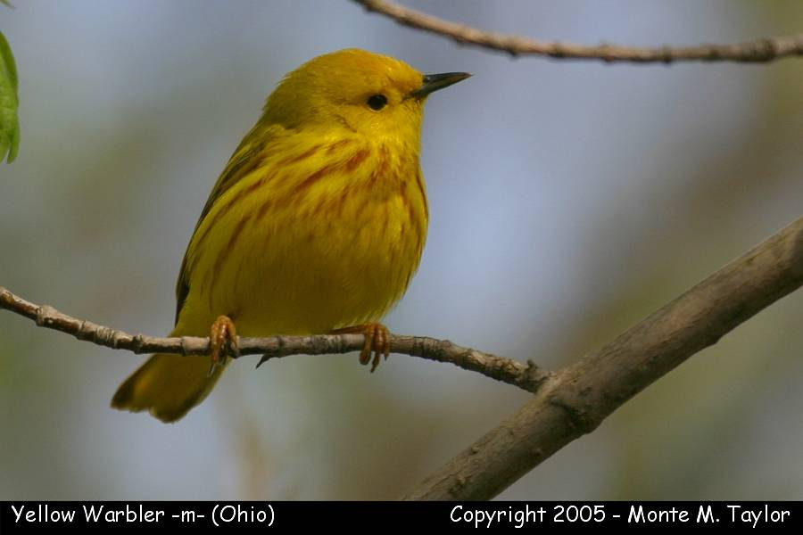 Yellow Warbler (male) - Ohio
