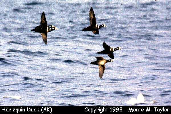 Harlequin Duck  (Gambell, St. Lawrence Island, Alaska)
