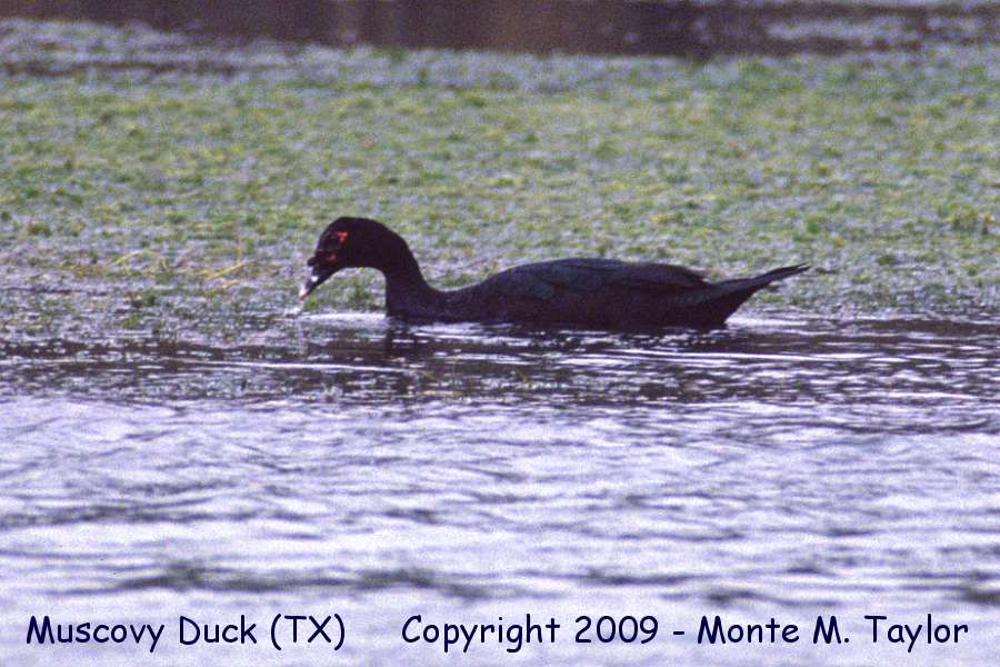 Waterfowl 1 gallery masked duck texas muscovy duck texas on the rio grande river sciox Choice Image