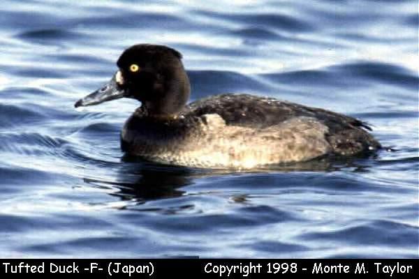 Tufted Duck -female-  (Hokkaido, Japan)
