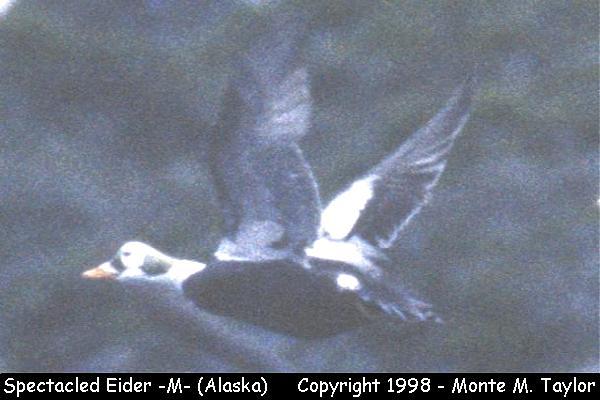 Spectacled Eider -male-  (Attu Island, Alaska)