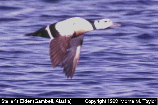 Steller's Eider -male-  (Gambell, St. Lawrence Island, Alaska)