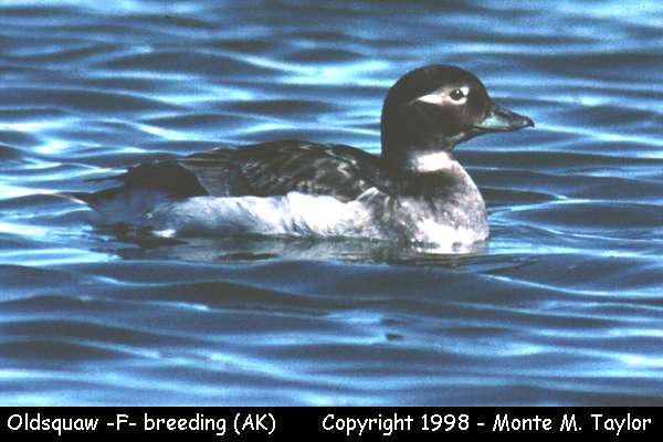 Long-tailed Duck (Oldsquaw) -female-  (Gambell, St. Lawrence Island, Alaksa)