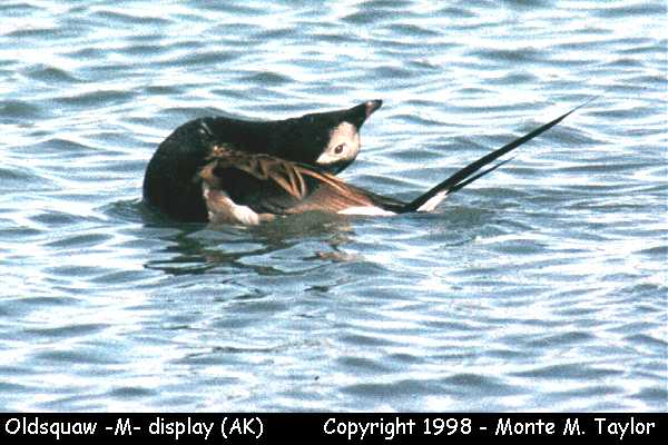 Long-tailed Duck (Oldsquaw) -male/display-  (Prudhoe Bay, Alaska)