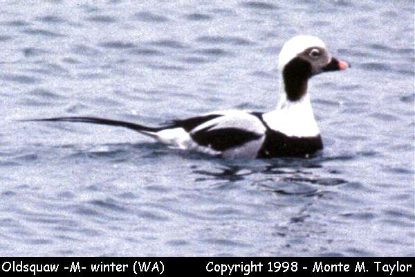 Long-tailed Duck (Oldsquaw) -male/winter-  (Washington)
