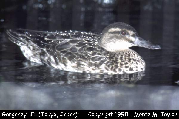 Garganey -female-  (Japan)