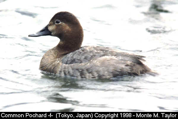 Common Pochard -female-  (Japan)