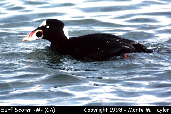 Surf Scoter -male-  (California)