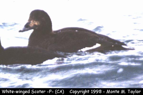 White-winged Scoter -female-  (California)