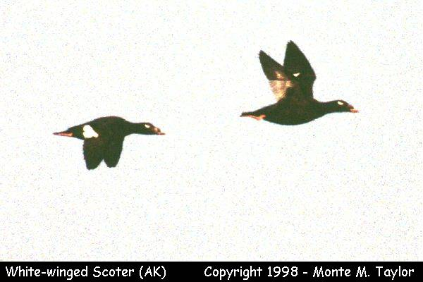 White-winged Scoter -male-  (Gambell, St. Lawrence Island, Alaska)