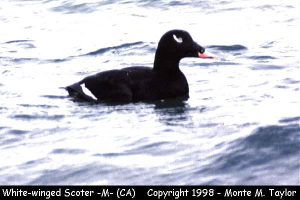 White-winged Scoter -male-  (California)