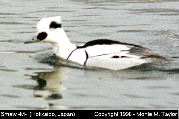 Smew -male-  (Hokkaido, Japan)
