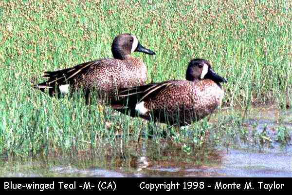 Blue-winged Teal -male-  (California)