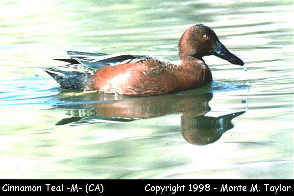 Cinnamon Teal -male-  (California)