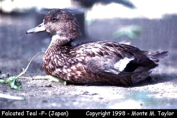 Falcated Duck -female-  (Japan)