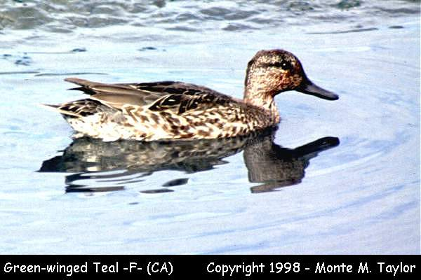 Green-winged Teal -female-  (California)