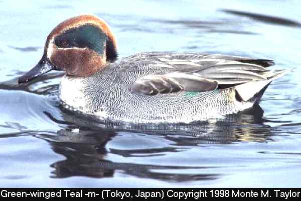 Green-winged Teal -male/nimia race-  (Japan)