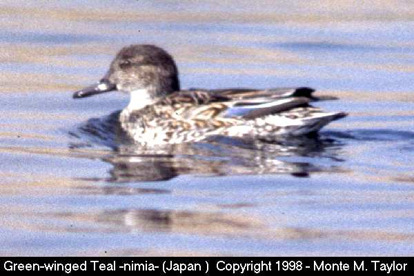 Green-winged Teal -female/nimia race-  (Japan)
