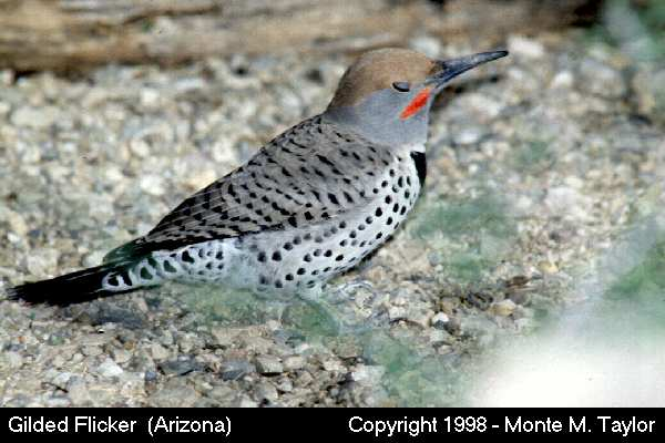 Gilded Flicker  (Arizona)