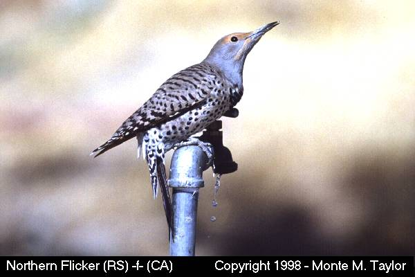 Northern Flicker -female-  (California)