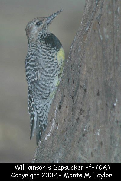 Williamson's Sapsucker -female- (California)