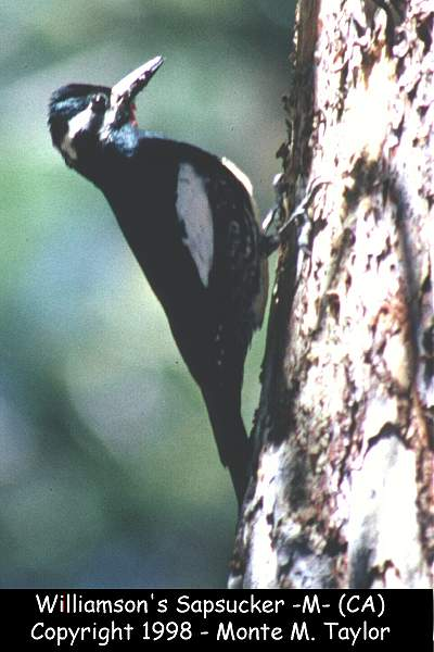 Williamson's Sapsucker -male-  (California)