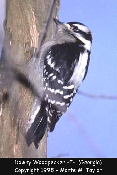 Downy Woodpecker -female-  (Georgia)