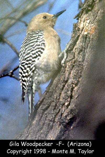 Gila Woodpecker -female-  (Arizona)