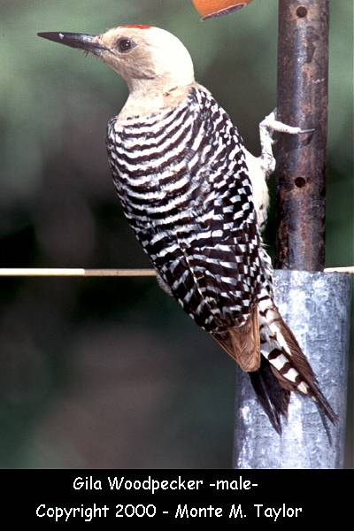 Gila Woodpecker -male-  (Arizona)