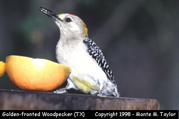 Golden-fronted Woodpecker -male-  (Texas)