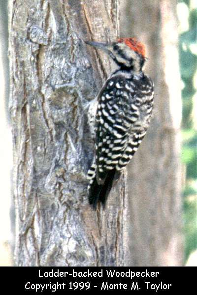 Ladder-backed Woodpecker -male-  (California)