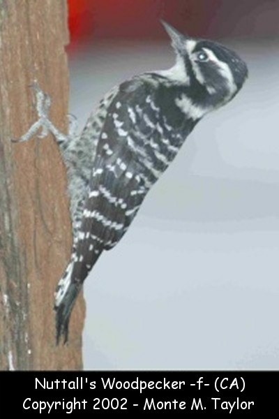 Nuttall's Woodpecker -female- (California)