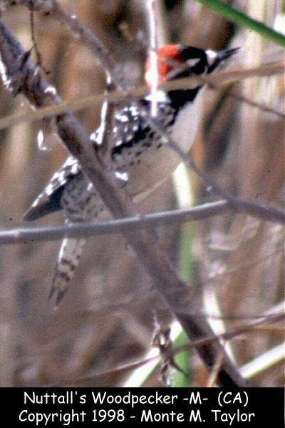 Nuttall's Woodpecker -male-  (California)