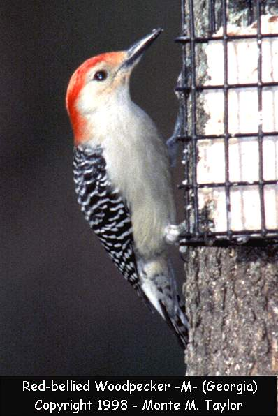 Red-bellied Woodpecker -male-  (Georgia)