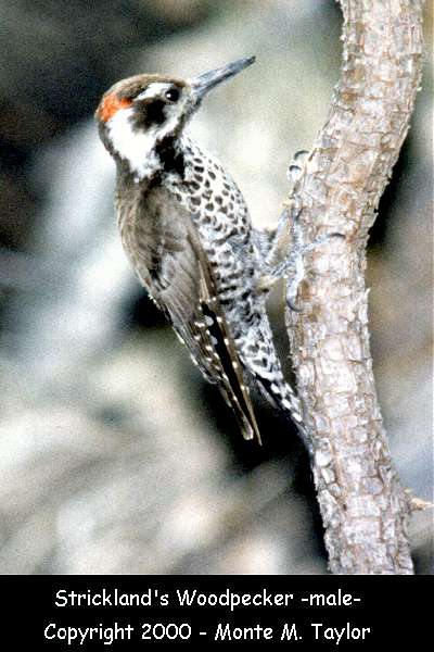 Arizona Woodpecker  (Arizona) - was called Strickland's !!