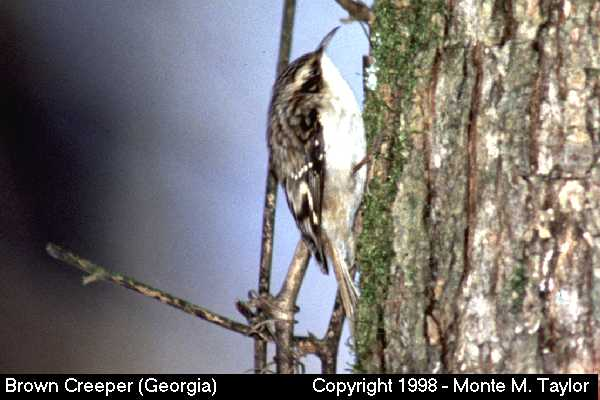 Brown Creeper  (Georgia)